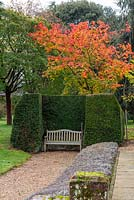 Acer japonicum 'Vitifolium' - the downy Japanese maple, in full autumn colour stands behind a clipped yew alcove and bench.