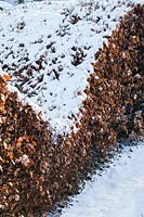 Snow on wave-form hedge of Fagus sylvatica - Beech. Veddw House Garden
