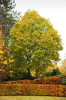 Autumn foliage on a Beech hedge Fagus sylvatica and a towering Oak tree 'Quercus' in the garden at High Moss, Portinscale, Cumbria, UK