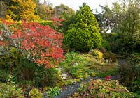 Autumn colour on Azalea and Juniperus chinensis in the Alpine garden - Windy Hall, Bowness on Windermere, Cumbria, UK