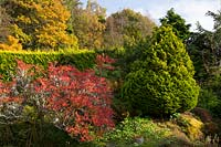 Autumn colour on Azalea and Juniperus chinensis in the Alpine garden at Windy Hall