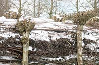 Branches stored in between willow trees covered with snow.