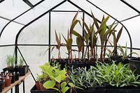 Cannas and other tender plants overwintering in a greeenhouse