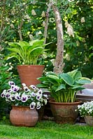 Pansy and Hosta in pots standing on a grass border.