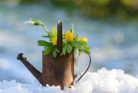 Galanthus - Snowdrops and Eranthis hyemalis - Winter Aconites in a rusted metal miniature watering can in the snow.