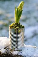 Hyacinthus - white hyacinth bulb with flowering bud displayed in recycled tin can with moss.