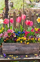 Spring flowers in wooden box including pansies, daffodils, tulips, Bellis and Muscari