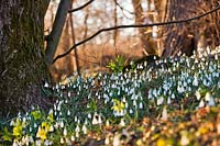 Woodland with snowdrops in late winter.