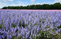 Delphiniums grown for natural confetti at The Confetti Fields near Pershore in Worcestershire, UK.