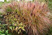 Miscanthus sinensis 'Dreadlocks' with Coneflowers