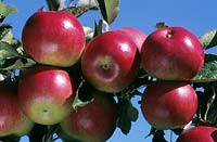 Malus pumila - Apple - ripe fruit on branch