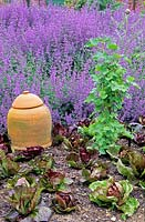 Lactuca - Lettuce in ground near Ribes - Currant Bush - with Nepeta - Catmint behind