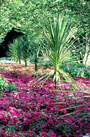 Cordyline underplanted with flowering Impatiens.