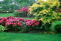 Acer palmatum in late spring border with flowering Rhododendron.