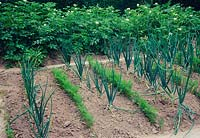 Vegetable path planted with rows of onions - Allium cepa and carrots - Daucus carotta