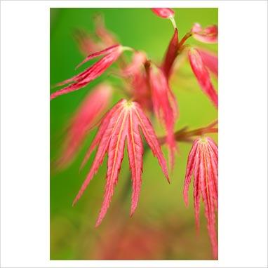 japanese maple dwarf trees. #39;Wilsons Pink Dwarf#39;