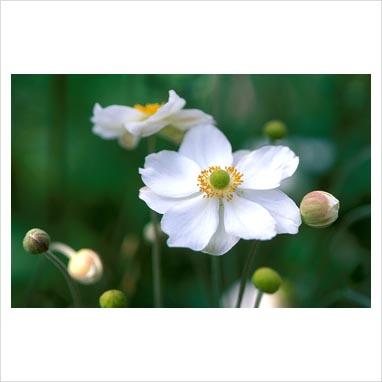 Japanische anemone