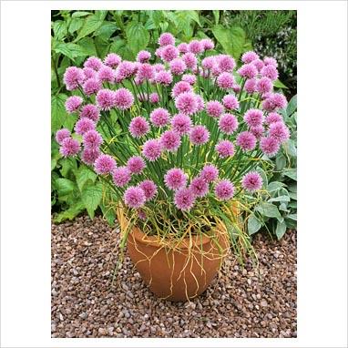 Alliums in pots