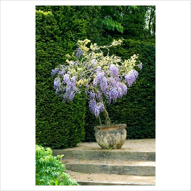 gap photos garden plant picture library small wisteria growing in pot in early summer