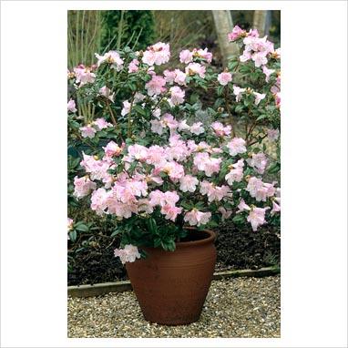 gap photos garden plant picture library rhododendron cilpinense in a pot gap photos