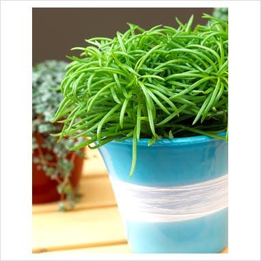 gap photos garden plant picture library senecio himalaya gap photos specialising in. Black Bedroom Furniture Sets. Home Design Ideas