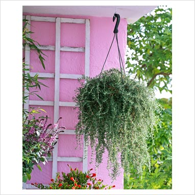 Gap photos garden plant picture library rosmarinus - Hanging baskets for balcony ...