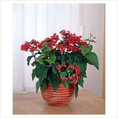 House Plants With Red Leaves