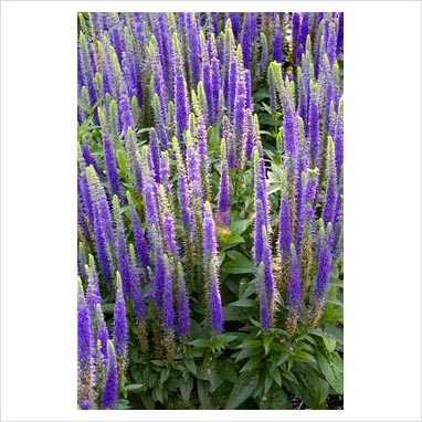 Veronica Flower Picture on Gap Photos   Garden   Plant Picture Library   Veronica Spicata  Royal