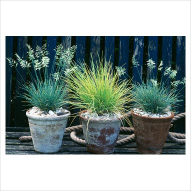 Gap photos garden plant picture library ornamental for Ornamental grass in containers for privacy