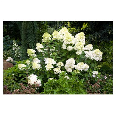 gap photos garden plant picture library hydrangea paniculata 39 phantom 39 agm gap photos. Black Bedroom Furniture Sets. Home Design Ideas