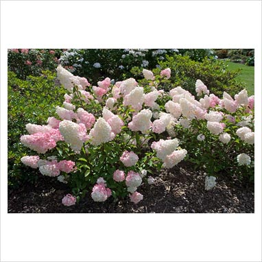 gap photos garden plant picture library hydrangea paniculata vanille fraise 39 renhy 39 at. Black Bedroom Furniture Sets. Home Design Ideas