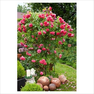 gap photos garden plant picture library rosa. Black Bedroom Furniture Sets. Home Design Ideas
