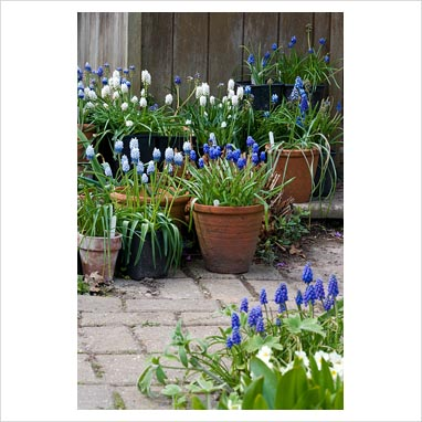 Gap photos garden plant picture library muscari grape hyacinths in pots next to wooden - Planting hyacinths pots ...