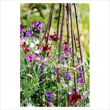 gap photos garden plant picture library lathyrus