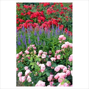 rose da vinci leonardo da vinci rose english rose california gardens rosa leonardo da vinci. Black Bedroom Furniture Sets. Home Design Ideas