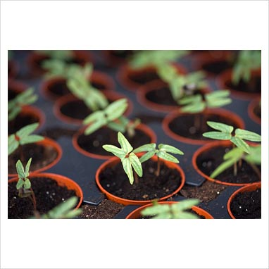 Download Blue Morning Glory Seedlings Library - morning glory '