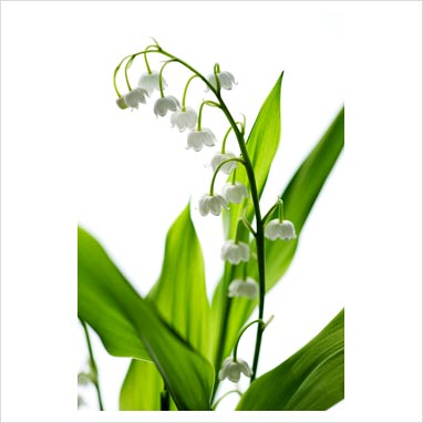 Flowers Lily Of The Valley The National Flower Of My Country Finland
