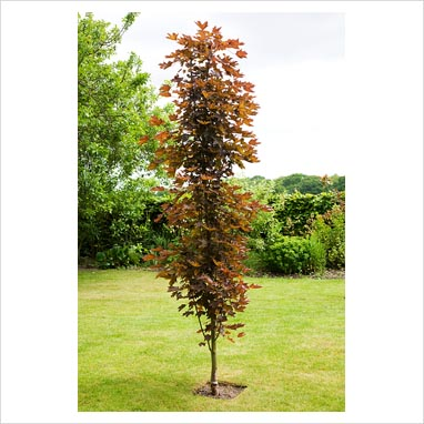 Top 28 upright trees for small gardens burgundy star for Small trees for tiny gardens