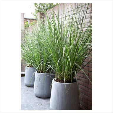 Gap photos garden plant picture library cortaderia for Ornamental grass in containers for privacy