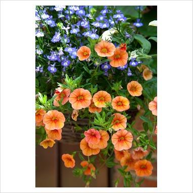 Un giardino inglese sul balcone consigli forum di - Calibrachoa perenne ...