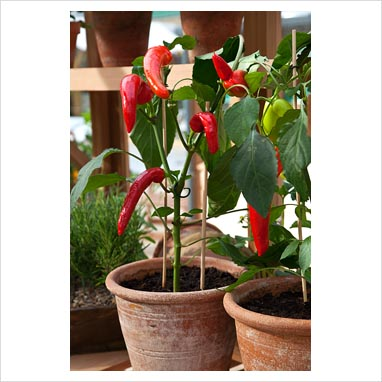 how to grow capsicum in pots in india
