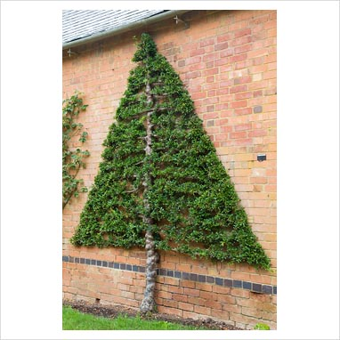 Pyracantha trained in a Christmas tree shape against brick wall - Pine House