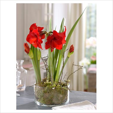 Gap photos garden plant picture library hippeastrum for Amaryllis royal red entretien