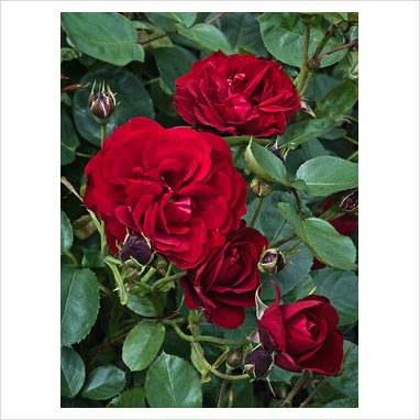 gap photos garden plant picture library rosa 39 lili. Black Bedroom Furniture Sets. Home Design Ideas