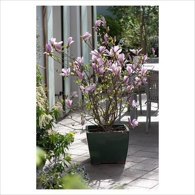 gap photos garden plant picture library magnolia. Black Bedroom Furniture Sets. Home Design Ideas