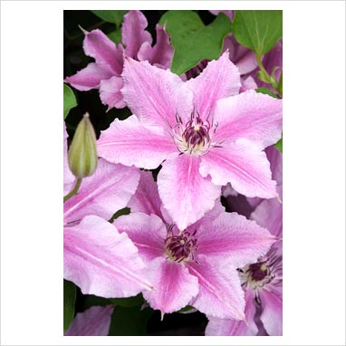 gap photos garden plant picture library clematis. Black Bedroom Furniture Sets. Home Design Ideas