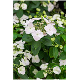 "RHS Plant of the Year 2018 - Hydrangea hybrid Runaway Bride ""Snow White"""