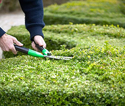 Tips for Pruning Formal, Summer Hedges